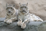 Pair of snow leopard with clear rock background, Hemis National Park, Kashmir, India. Wildlife scene from Asia. Detail portrait of beautiful big cat snow leopard, Panthera uncia. Animals in the rock. - 127901120