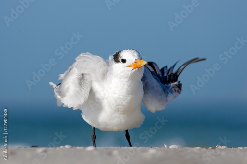 Fotobehang Bird cleaning plumage. Tern in the water. Royal Tern, Sterna maxima or Thalasseus maximus, seabird on the beach, bird in clear nature habitat, animal the sea, spring, during morning sunrise, Florida