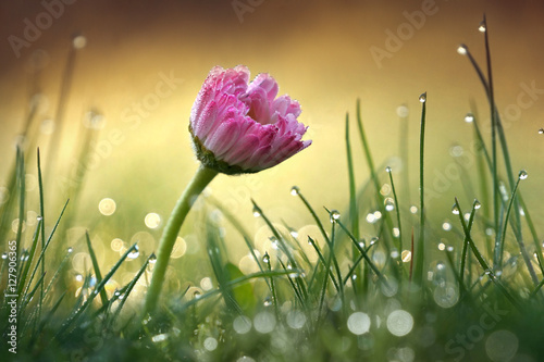 Fototapety, obrazy : Beautiful flower pink daisy with soft focus of a summer morning in the grass with dew in the sunlight close-up macro. Romantic gentle elegant artistic image, round bokeh, blurred golden background.