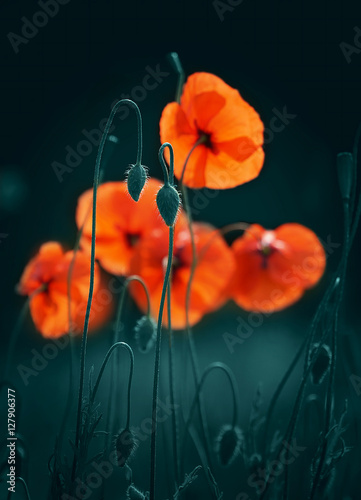 Zdjęcia na płótnie, fototapety na wymiar, obrazy na ścianę : Beautiful red flowers and buds of poppies in spring in the outdoors in the summer evening. Bright elegant expressive artistic image, the soft blurred dark background close-up macro.