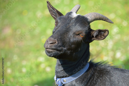 Poster Black goat in blue collar over green grass background