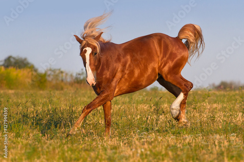 Poster Red horse with long mane play fun on pasture