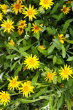 Many gazania rigens or treasure flower yellow flowers
