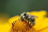 Close up of a bee on a flower