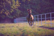 cheval Brown au galop sur le fond des arbres le long de la clôture blanche à l'été