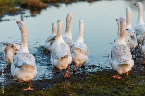 Poster Белые гуси плещутся в воде