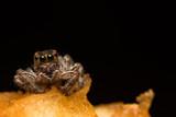 macro spider hyllus