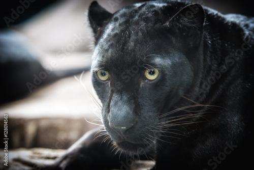 Foto op Plexiglas Panter panther on dark bacground