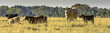 Panoramic cows in a pasture
