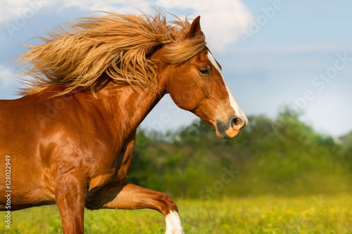 Poster Red horse with long mane portrait run outdoor in summer day