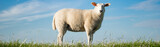 Junges Schaf steht auf einem Deich, Banner - 128030153
