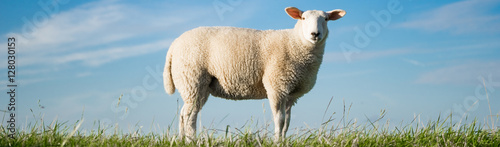 Poster Noordzee Junges Schaf steht auf einem Deich, Banner
