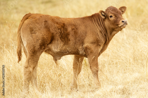 Poster Lonely Brown Cattle