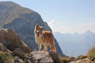 Border collie in Alps
