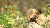 Capuchin monkey eating on the stone