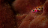 A goby almost blends in with the coral background, Lembeh Straits, North Sulawesi, Indonesia
