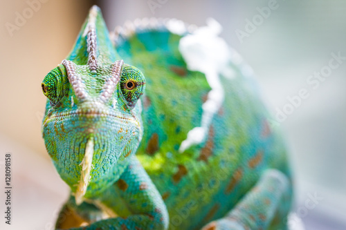 Kameleon Macro Reptile 2 (Eyes Crooked)