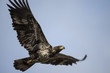 Adolescent Bald Eagle Soaring