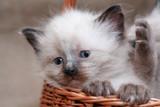 Kitties In Basket