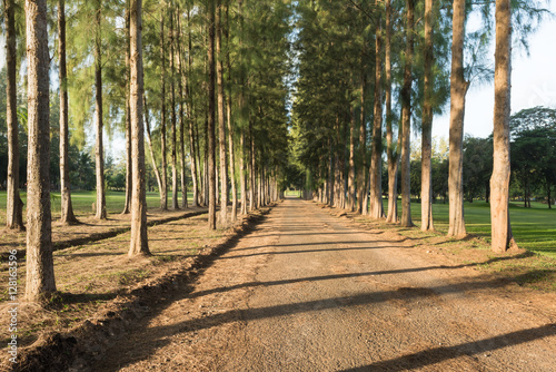 Fototapeta Empty dirt road and pine tree forest in a row