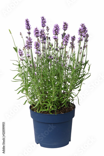 Foto op Canvas Lavendel Pot de lavande