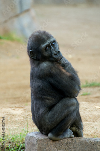 Poster Young Gorilla