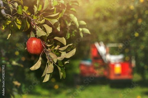 Poster Red Apple on Apple Tree in Orchard with harvester car background on Bright Sunny