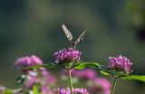 꽃밭에서 춤울 추눈 호랑나비