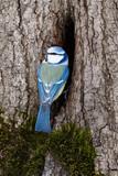 Blue tit (Parus caeruleus) at nest