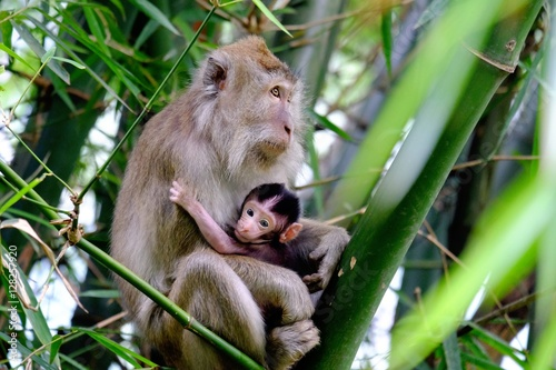 Poszter Monkey mother nursing her child in bamboo trees, staring blankly ahead