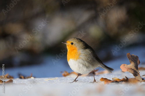 Poster Wintering Robin walking in the snow