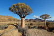 Landscape with rocky mountain and quiver trees (Aloe dichotoma), Northern Cape, South Africa .