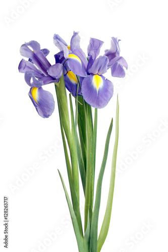 Plexiglas Iris iris flowers on white
