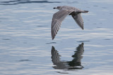 Seagul flying low over water with reflection 2