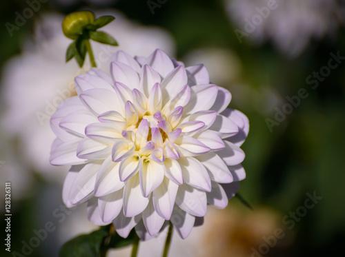Papiers peints Azalea White dahlia in the garden. Selective focus with shallow depth of field.