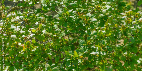 Poster Leaves of Magnolia Kobus.