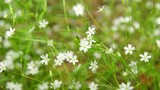 Background of little white flowers blooming bush