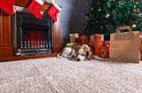 A lone beagle on the carpet with Christmas gifts in front of the