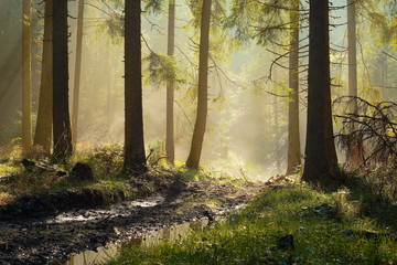 beautiful morning light in spruce forest