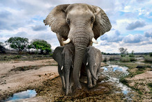 Wild Images of of African Elephants in Africa