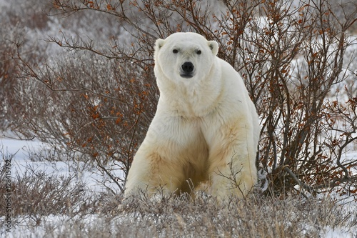 Aluminium Ijsbeer Polar bear repose