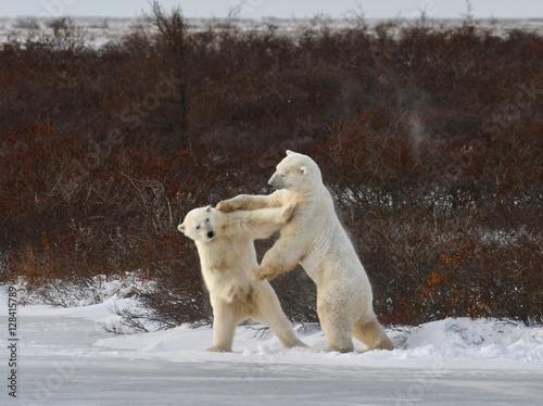 Aluminium Ijsbeer Polar bears sparring