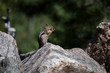 A Golden-mantled Ground Squirrel Finds a Peanut along the East I