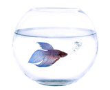 fishbowl and Siamese fighting fish