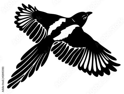 Große Elster im Flug, mit großen Flügeln. Magpie.