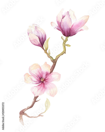 Fototapeta Watercolor Painting Magnolia blossom flower wallpaper decoration