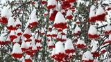 Falling snow on mountain ash berries