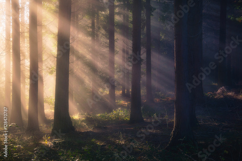 sun rays on forest