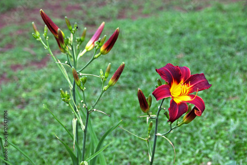 Poster  Daylily With Stems and Buds Against Green Lawn Background