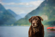 Senior Chocolate Labrador Retriever dog
